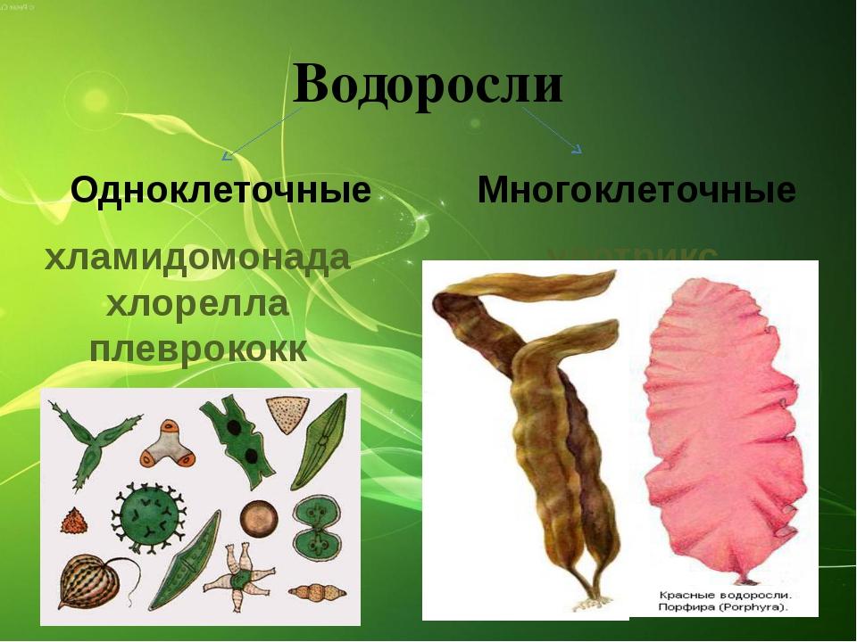 улотрикс спирогира ламинария Водоросли Многоклеточные Одноклеточные хламидомо...