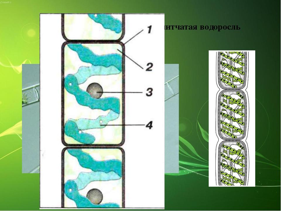 Спирогира – многоклеточная нитчатая водоросль