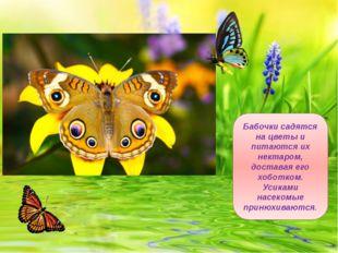 Бабочки садятся на цветы и питаются их нектаром, доставая его хоботком. Усика