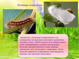 Гусеницы златогузки Наевшись, гусеница подрастает и из отверстия на брюшке на