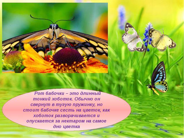 Рот бабочки – это длинный тонкий хоботок. Обычно он свернут в тугую пружинку...