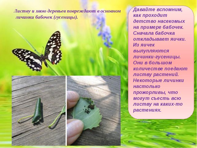 Листву и хвою деревьев повреждают в основном личинки бабочек (гусеницы). Дав...