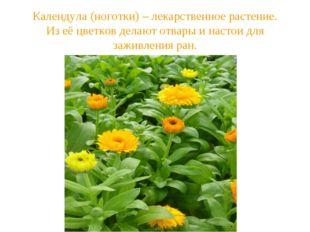 Календула (ноготки) – лекарственное растение. Из её цветков делают отвары и н