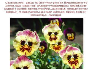Анютины глазки – раньше это было лесное растение. Немцы называют его мачехой.