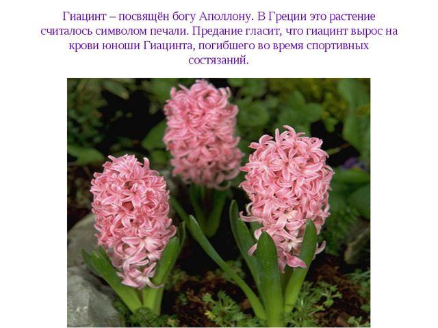 Гиацинт – посвящён богу Аполлону. В Греции это растение считалось символом пе...