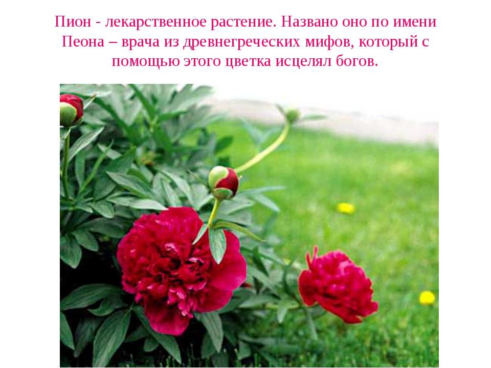 Пион - лекарственное растение. Названо оно по имени Пеона – врача из древнегр...