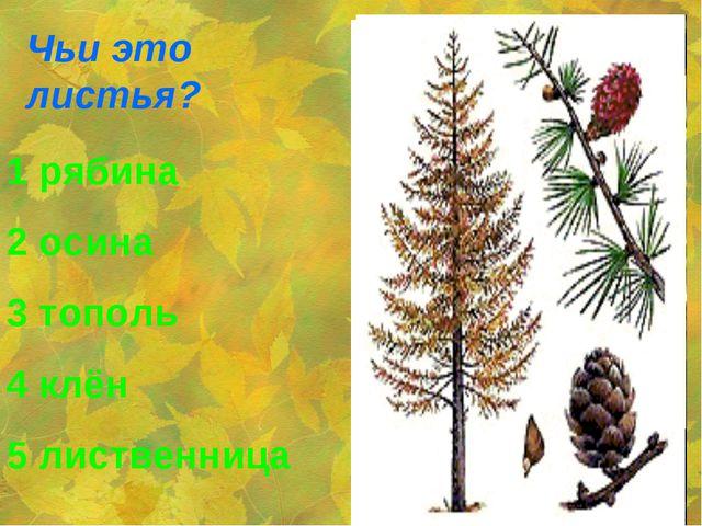 Чьи это листья? 1 рябина 2 осина 3 тополь 4 клён 5 лиственница
