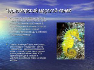 Черноморский морской конёк Эту оригинальную небольшую рыбку из семейства игло