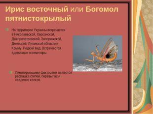 Ирис восточный или Богомол пятнистокрылый На территории Украины встречается в