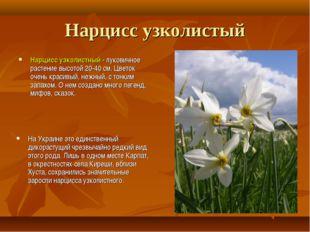 Нарцисс узколистый Нарцисс узколистный - луковичное растение высотой 20-40 см