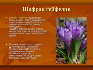 Шафран гейфелив Шафран Гейфелив расцветает рано весной, в марте - апреле. Вид