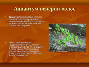 Адиантум венерин волос Адиантум (Adiantum capillus-veneris L) относится к сос