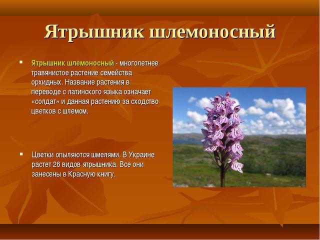 Ятрышник шлемоносный Ятрышник шлемоносный - многолетнее травянистое растение...