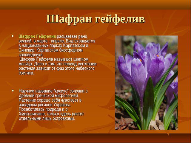 Шафран гейфелив Шафран Гейфелив расцветает рано весной, в марте - апреле. Вид...