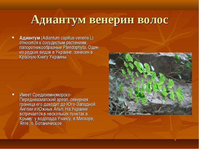 Адиантум венерин волос Адиантум (Adiantum capillus-veneris L) относится к сос...