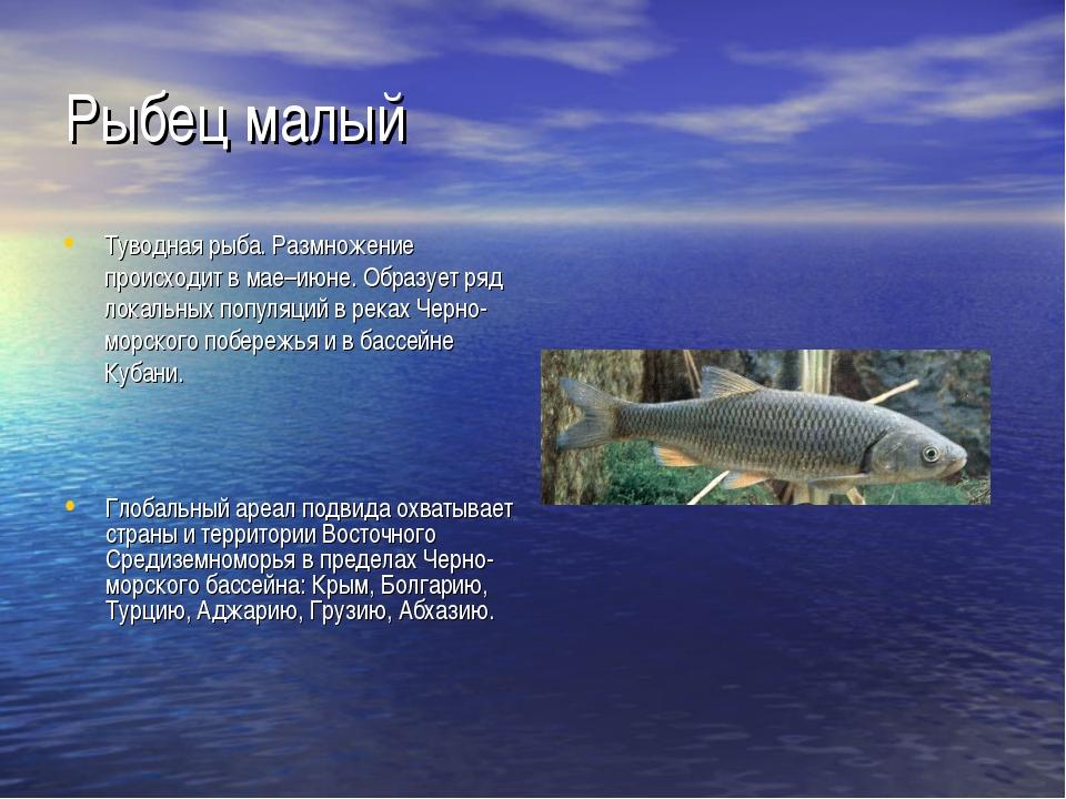 Рыбец малый Туводная рыба. Размножение происходит в мае–июне. Образует ряд ло...