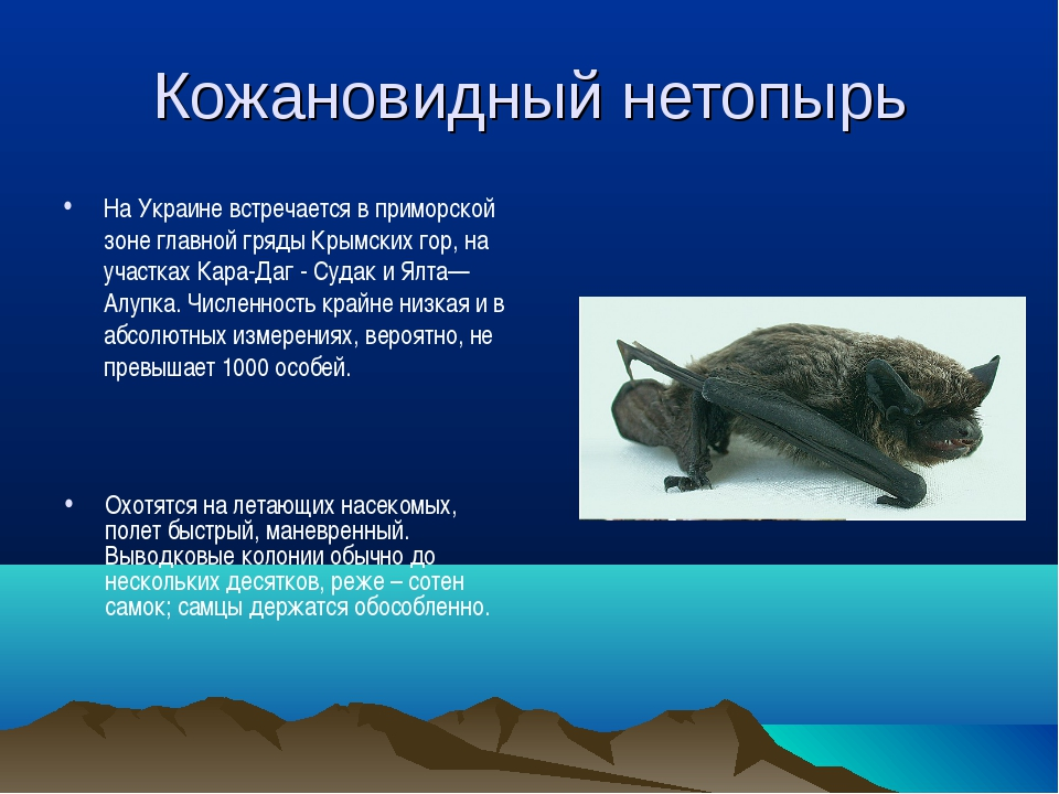 Кожановидный нетопырь На Украине встречается в приморской зоне главной гряды...