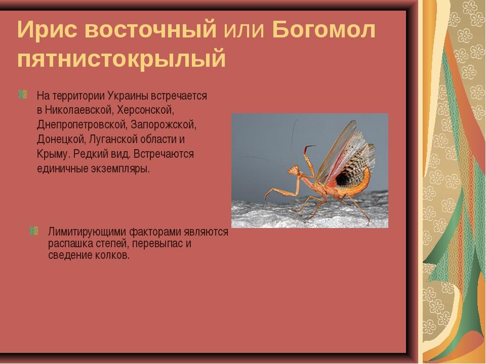 Ирис восточный или Богомол пятнистокрылый На территории Украины встречается в...