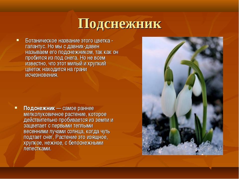 Подснежник Ботаническое название этого цветка - галантус. Но мы с давних-дав...