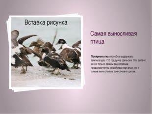 Самая выносливая птица Полярная уткаспособна выдержать температуру -110 град