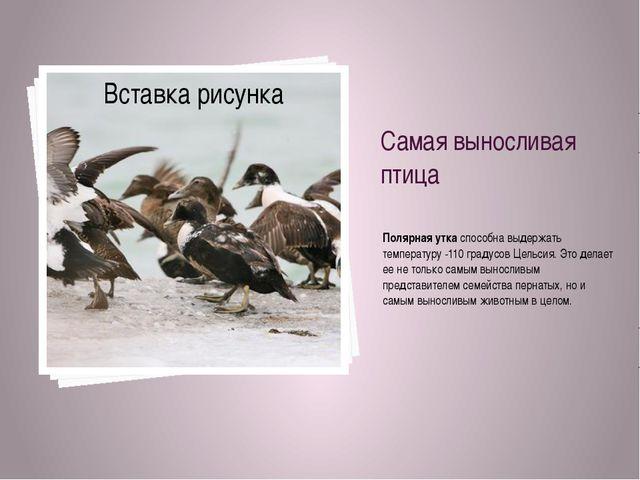 Самая выносливая птица Полярная уткаспособна выдержать температуру -110 град...