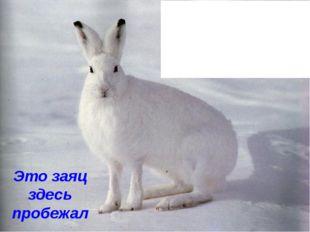 Это заяц здесь пробежал Зимой заяц надевает белую шубку и становится не замет