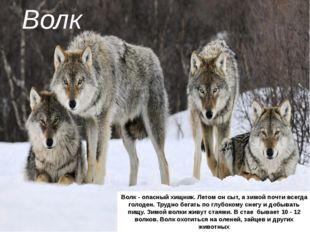 Волк Волк - опасный хищник. Летом он сыт, а зимой почти всегда голоден. Трудн