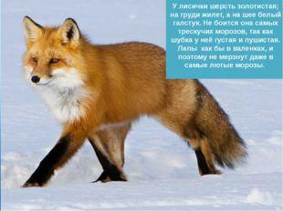 У лисички шерсть золотистая; на груди жилет, а на шее белый галстук. Не боитс