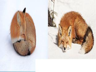 Хвост служит лисе и одеялом. Зимой лиса спит прямо на снегу, свернувшись кала