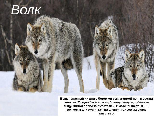 Волк Волк - опасный хищник. Летом он сыт, а зимой почти всегда голоден. Трудн...