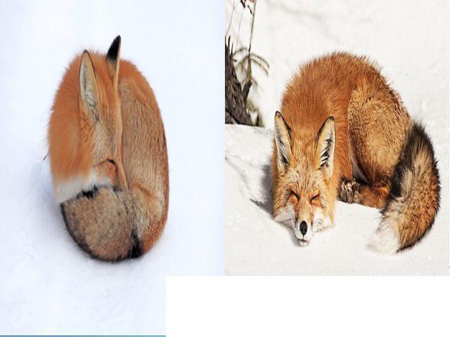 Хвост служит лисе и одеялом. Зимой лиса спит прямо на снегу, свернувшись кала...