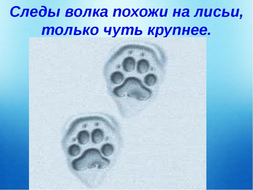 Следы волка похожи на лисьи, только чуть крупнее.
