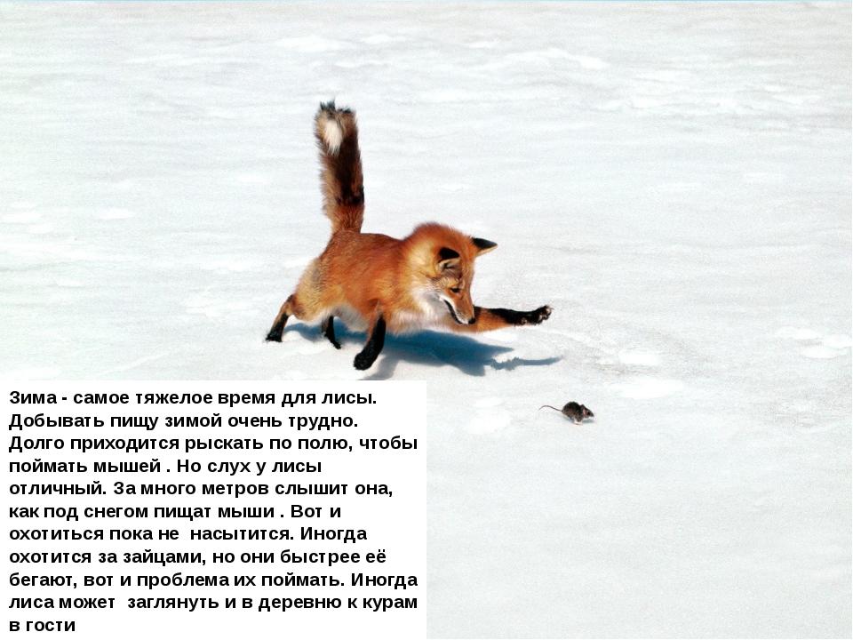 Зима - самое тяжелое время для лисы. Добывать пищу зимой очень трудно. Долго...