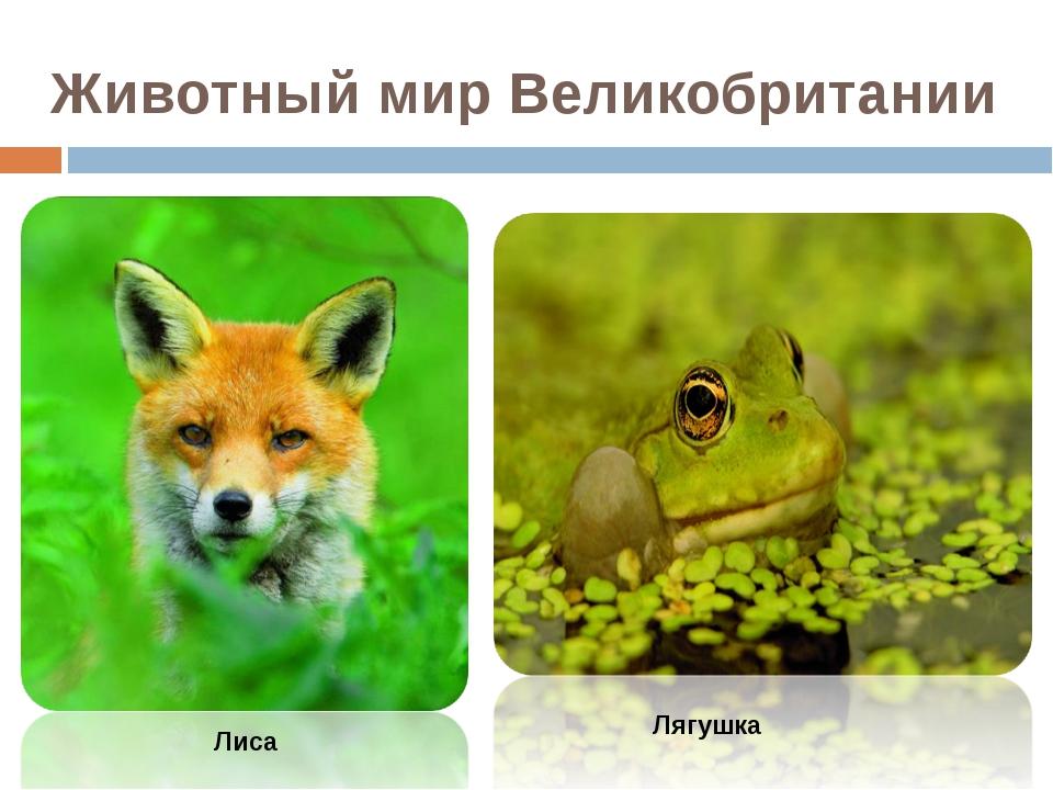 Лиса Животный мир Великобритании Лягушка