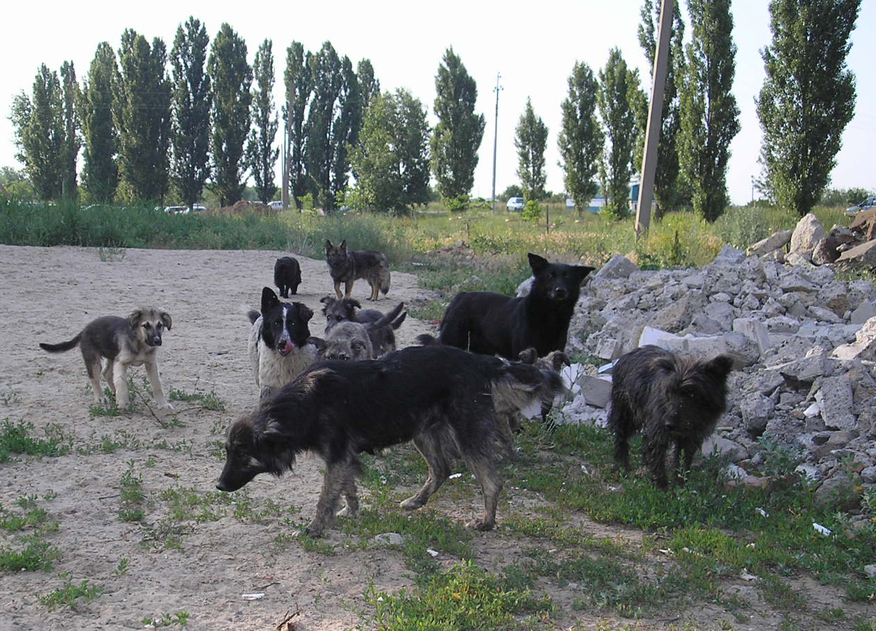 http://upload.wikimedia.org/wikipedia/commons/e/e8/Stray_dogs_Rus.JPG