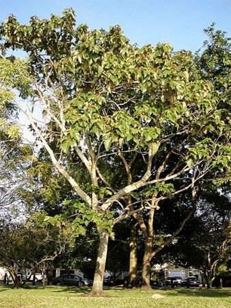 бальсовое дерево.jpg