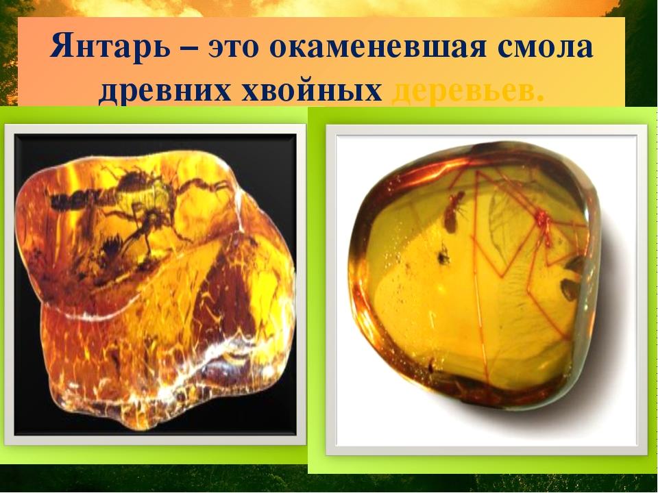Янтарь – это окаменевшая смола древних хвойных деревьев.