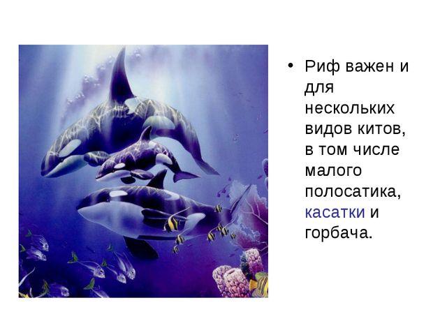 Риф важен и для нескольких видов китов, в том числе малого полосатика, касатк...