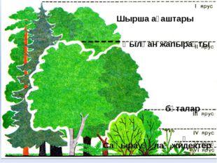 Қылқан жапырақты Шырша ағаштары бұталар қ Саңырауқұлақ,жидектер