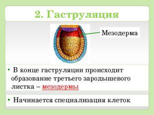 Мезодерма 2. Гаструляция В конце гаструляции происходит образование третьего