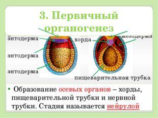 Образование осевых органов – хорды, пищеварительной трубки и нервной трубки.