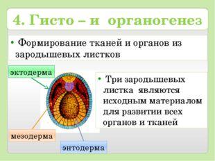 Формирование тканей и органов из зародышевых листков энтодерма мезодерма 4.