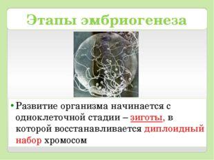 Этапы эмбриогенеза Развитие организма начинается с одноклеточной стадии – зиг