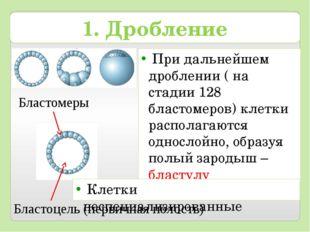 При дальнейшем дроблении ( на стадии 128 бластомеров) клетки располагаются о