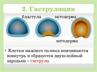 Клетки нижнего полюса впячиваются вовнутрь и образуется двухслойный зародыш