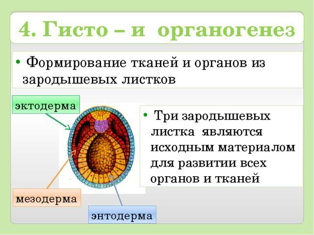 Формирование тканей и органов из зародышевых листков энтодерма мезодерма 4....