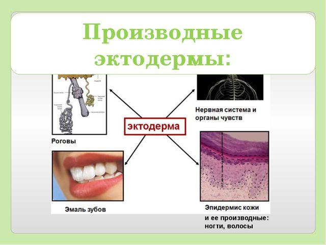 и ее производные: ногти, волосы Производные эктодермы: