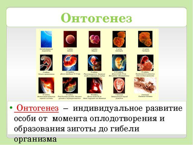 Онтогенез Онтогенез – индивидуальное развитие особи от момента оплодотворения...