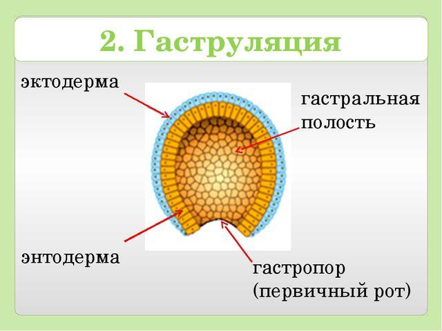 2. Гаструляция эктодерма энтодерма гастральная полость гастропор (первичный р...