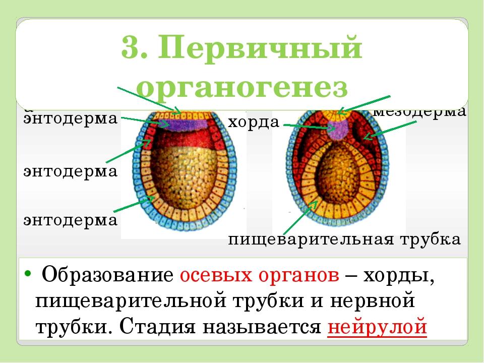 Образование осевых органов – хорды, пищеварительной трубки и нервной трубки....